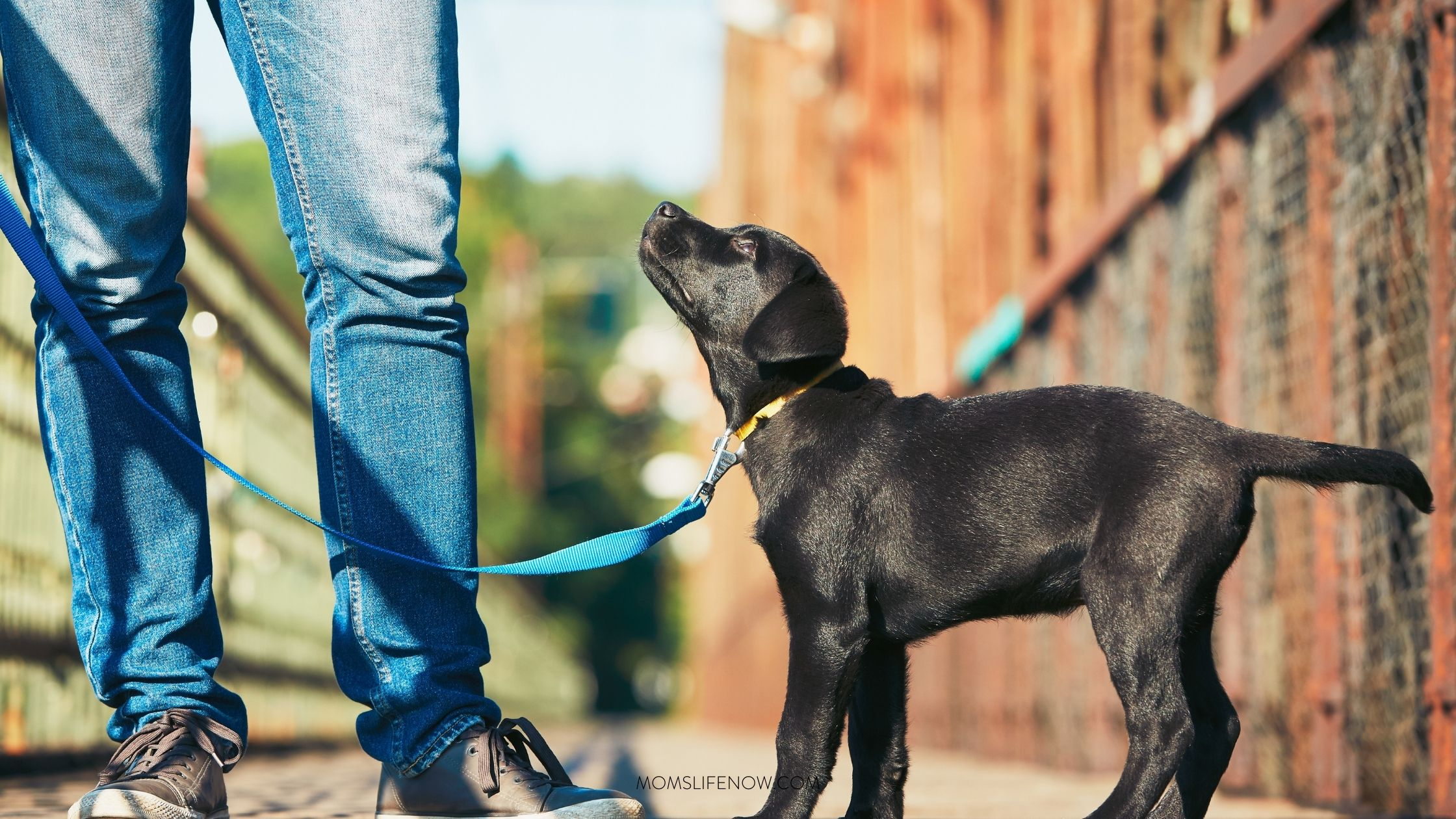 Teaching Your Puppy to Accept His Collar and Leash