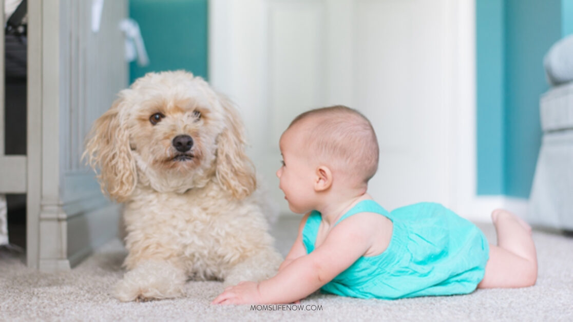 introducing pets to a baby